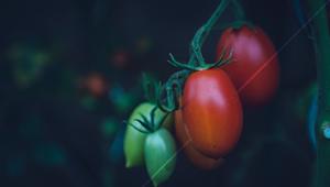 Pomodori per il Parkinson